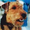 Welshdog