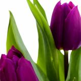 PurpleTulip15