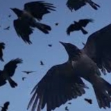 blackbird881