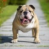bulldog25