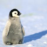 Penguins75