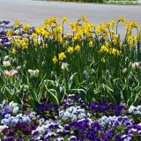 daffodilpetunia