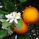 OrangeBlossomMom