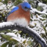 VaBluebird