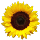 sunflowerscurls