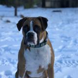 boxerdogmom
