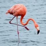 flamingohair