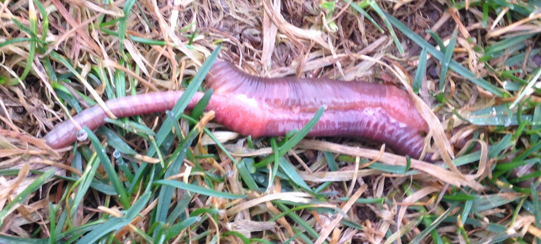 worm giving birth