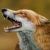 renar_fox