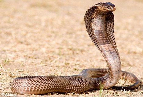 kobra.jpg