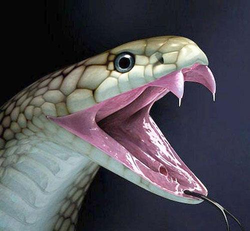 king-cobra-3.jpg