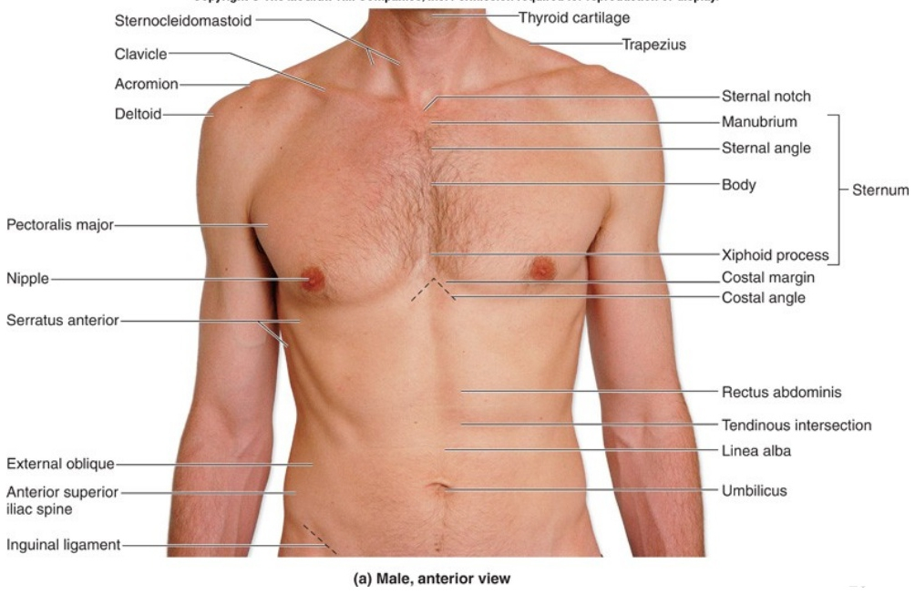 Left side abdomen anatomy