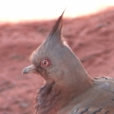 Krazy Pigeon