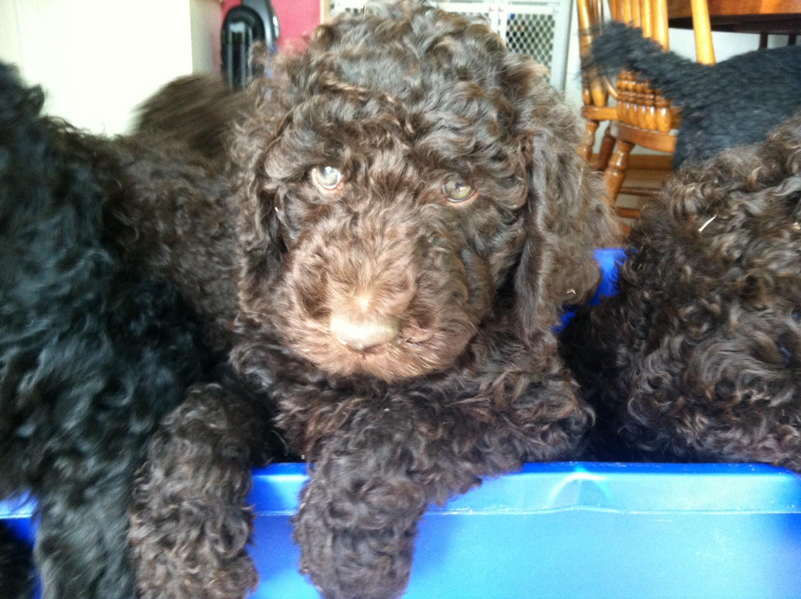 Puppyfind standard poodles 2019 2020 top car updates by - Craigslist rockford il farm and garden ...