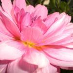 Blossom118