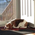 Alli-beagle