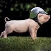 Schweinhundt12