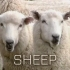 iphonesheep