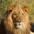 LionCat565