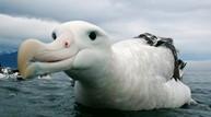 Albatross71