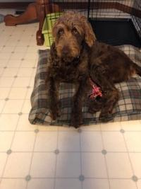 brownhound
