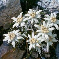 floare_de_colt (RO1)