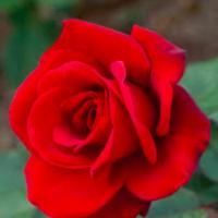 Red Rose (RU1)
