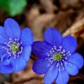Blue Jasmine10 (INT1)