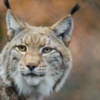 Lynx (CZ1)