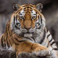 tigre (BR1)