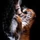 tiger444