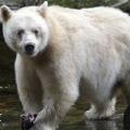 Spirit Bear (AU1)