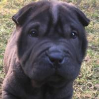 zolkodog (HU2)