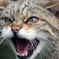 kedi (TR1)