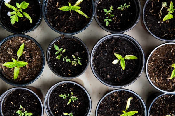 Rows of small black pots with little green shoots with leaves