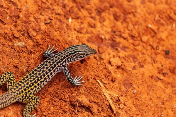 A Leopard Gecko on a red sandy base