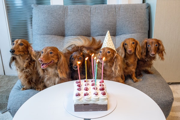 Row of dogs sat on a sofa with party hats on with a birthday cake infront of them on a table