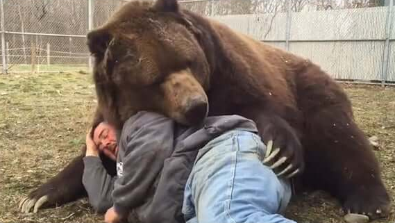 A brown bear partially laying on a man