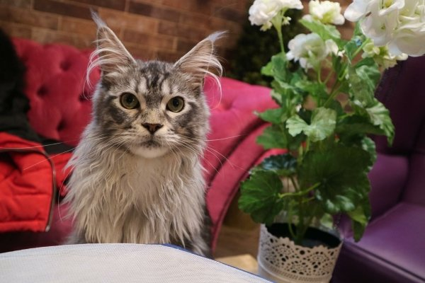 A grey fluffy cat is looking at the camera in focus Behind him is chairs