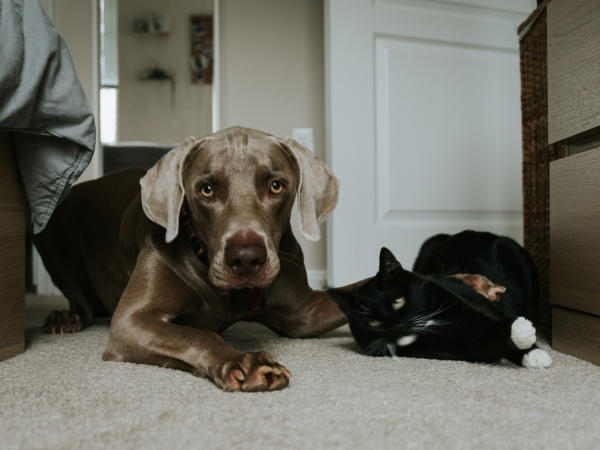 Big dark brown dog on the left with a black and white cat sat next to it
