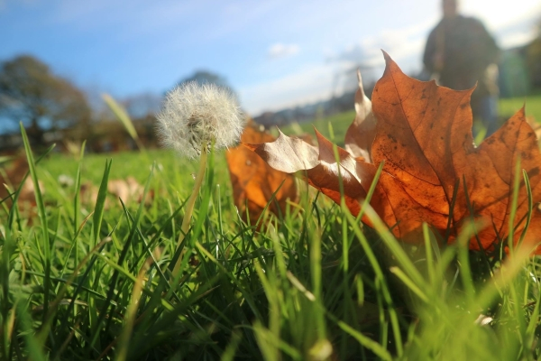 A dandelion and crisp orange autumn leaf Behind is grass and trees