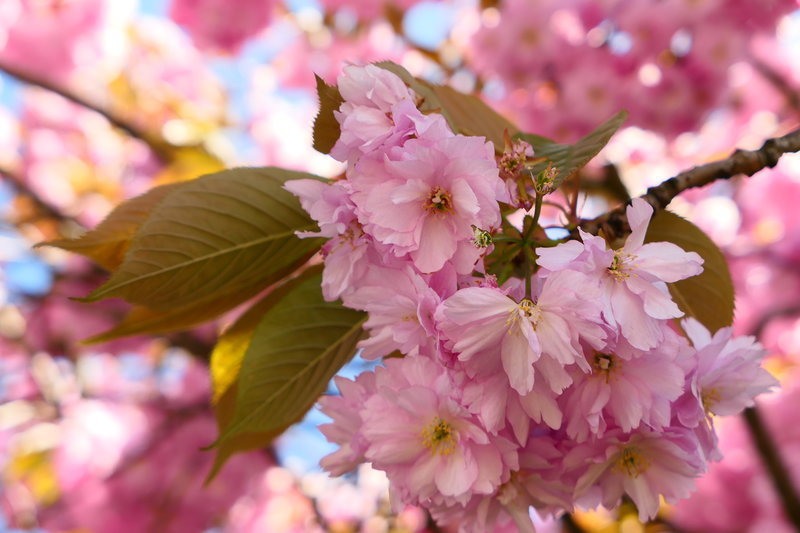 photograph of a pink blossom tree focussing on a leaf