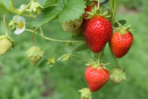 A strawberry plant with three ripe strawberries on