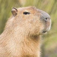 capybara23