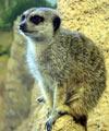 ultra meerkat