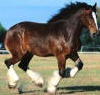Draught Horse