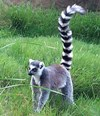 Sleek Lemur