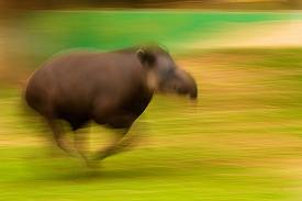 /members/images/46278/Gallery/fast_tapir.png