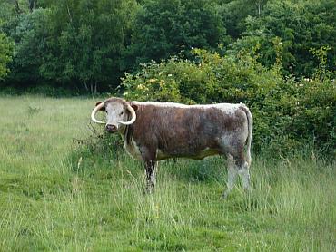 /members/images/493151/Gallery/bull.png