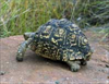giggling tortoise